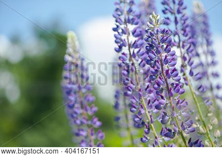 Lupine. Blue Forest Flower Lupine. Field With Blue And Purple Flowers. Bouquet Of Lupines Summer Flo