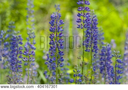 Lupine. Blue Forest Flower Lupine. A Field Of Purple Lupins On A Bright Summer Day, Blooming In The