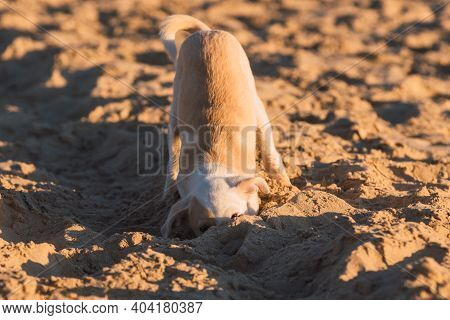 Young Puppy Scratching In The Sand On The Beach In Cadiz