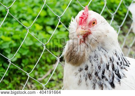 A Beautiful White Rooster Looks Into The Camera. A Rooster On A Farm Walks On The Street. Agricultur