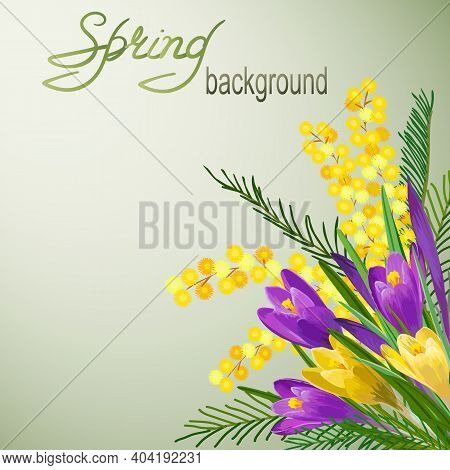 Illustration With Mimosa And Crocuses.color Illustration With Crocuses, Mimosa And Text.