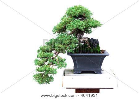 Bonsai Dwarf Japanese Garden