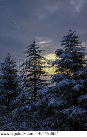 Snow-covered Pine Trees Across Dramatic Sky And Morning Sunrise. Sunrise In Winter Forest. Postcard,