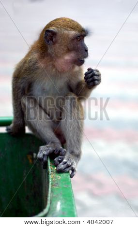 Macaque Monkey On Garbage Bin