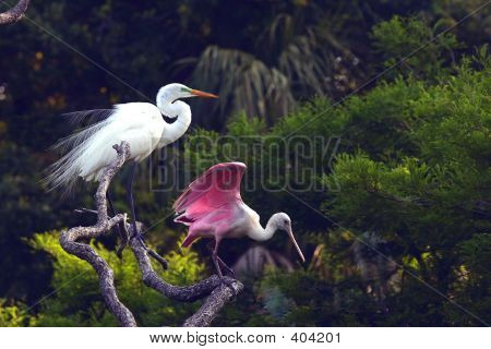 great white egret and roseate spoonbill poster