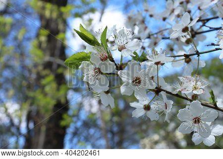 Alyssum 'carpet Of Snow' Flowers, Lobulara Maritima An Annual Plant Used As Low Ground Cover In Summ