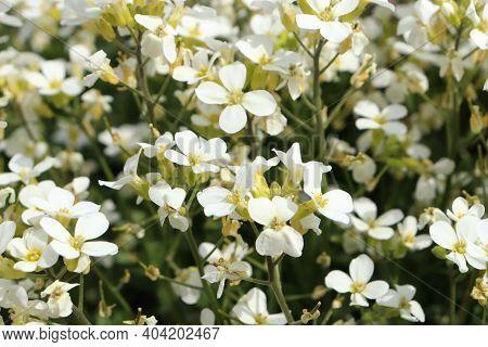 White Flowers Of Lobularia Maritima Called Alyssum Maritimum