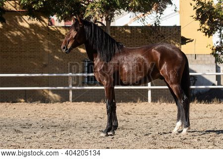 Young Gelding Of The Lusitano Breed Standing On The Sand