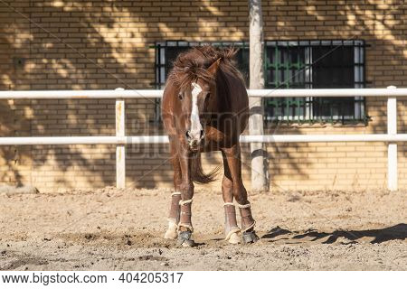 Happy Young Chestnut Mare Shaking Sand After Wallowing