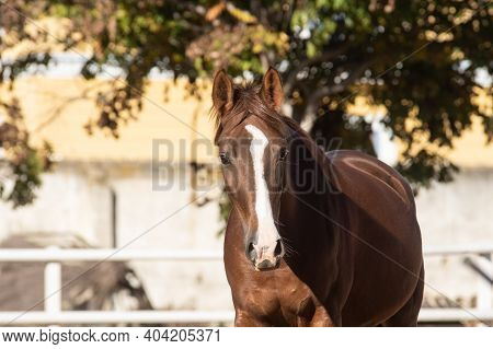 Face Portrait Of A Young Chestnut Mare With Blaze Enjoying The Freedom