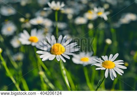 Chamomile Flowers On A Summer Meadow Natural Plant Background.
