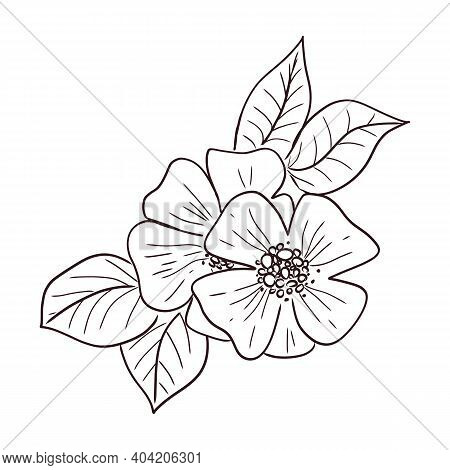 Cosmos Flower, Cosmea Hand-drawn Sketch, Wild Flower Astra. Vector Isolated Botanicalillustration.