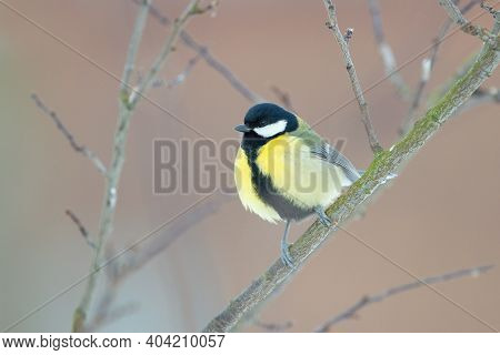 The Great Tit Bird Sitting On The Branch (parus Major)