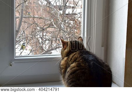 The Cat Watches The Birds Through The Window In Winter.