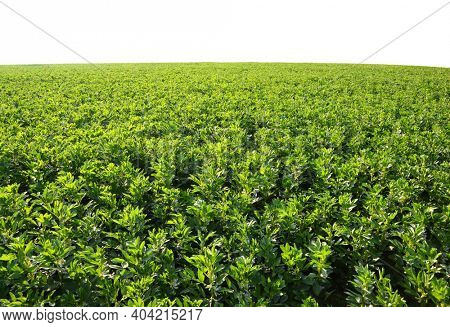 Cultivated field of broad or fava beans ( Vicia Faba ) on white backgrond.