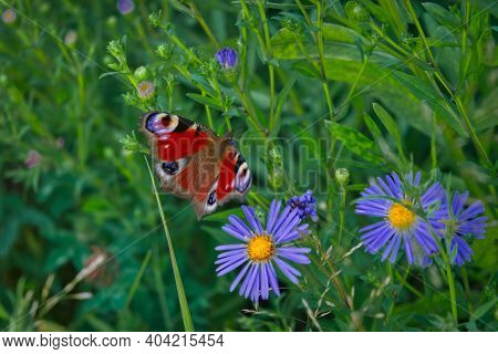 A Beautiful Peacock Butterfly, Aglais Io, Nectaring On A Wild Aster Flower.