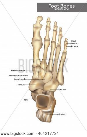 Anatomy Bones Of The Feet. Orthotics For Foot Superior View