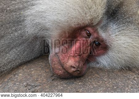 Detail Photo Of A Head Of A Reclining Long-haired Baboon Papio Cynocephalus, Family Genus Cercopithe