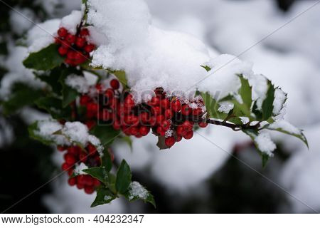 Holly Bush In The Snow In Winter, Good Winter Day