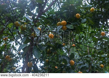 Orange fruits on tree. Oranges are grown throughout Asia and also in North American in California and Florida.
