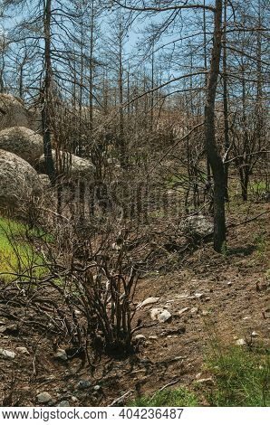 Black Trees From A Burnt Forest Over Rocky Landscape In A Sunny Day At The Serra Da Estrela. The Hig