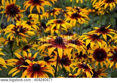 Rudbeckia Hirta Var. Pulcherrima (blackeyed Susan) - Summer Bright Yellow Flowers Bloom In The Garde