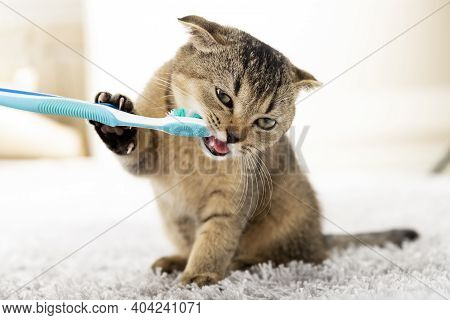 British Kitten And A Toothbrush. The Cat Is Brushing His Teeth.