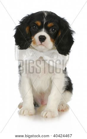 handsome puppy - cavalier king charles spaniel puppy wearing a white bow tie on white background