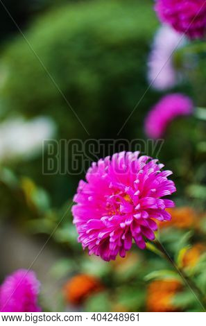 Asters Are Beautiful Multi-colored Flowers To Decorate Flower Beds And Create Bouquets