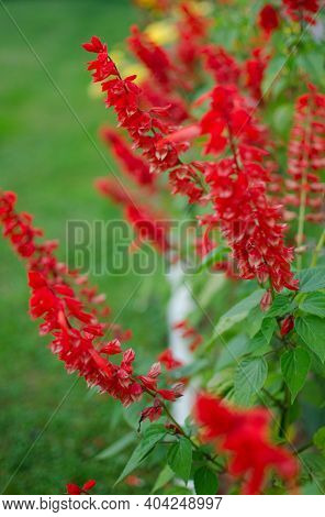 Salvia Is A Wonderful Red Flower For Decorating Flower Beds And Gazebos