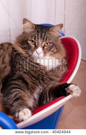 Cats - Portrait of cute Maine Coon cat. poster