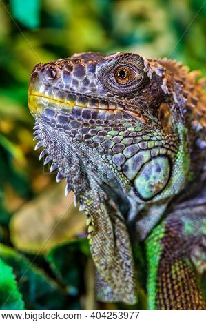 The Green Iguana, Also Known As The American Iguana, Mostly Herbivorous Species Of Lizard Of The Gen