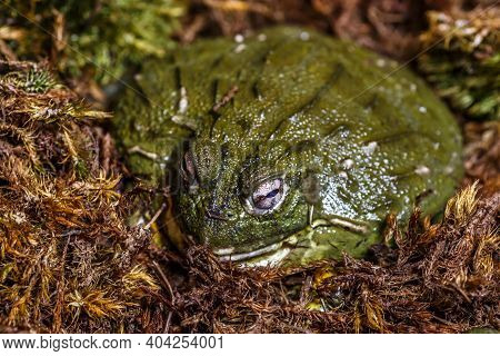 The Cameroon Slippery Frog (conraua Robusta) Is One Of The Largest Frog Species On Earth. These Gian