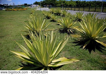 Salvador, Bahia, Brazil - January 18, 2021: Agave Angustifolia Plant Also Known As Caribbean Cigaret