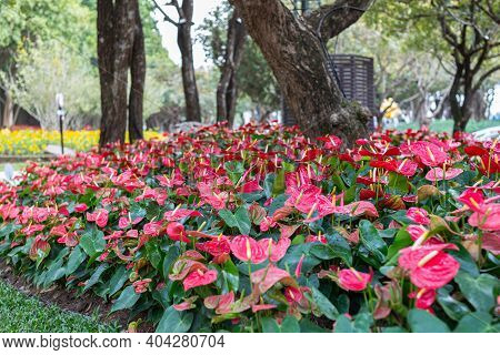 Red Anthurium Flowers In The Garden. Colorful Flower. Flower In Garden At Spring Day. Flower For Pos