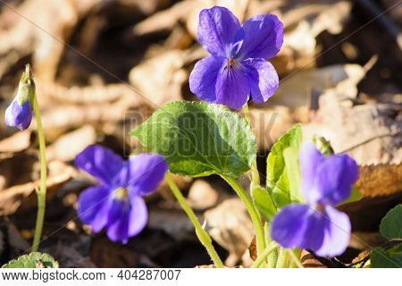 Viola Odorata. Viola Odorata Tender Spring Purple Flowers With Green Leaves, Growing In The Spring F