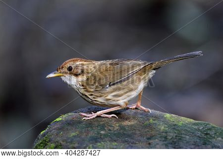 Puff-throated Babbler Or Spotted Babbler (pellorneum Ruficeps) Lovely Little Brown Bird Posting On G