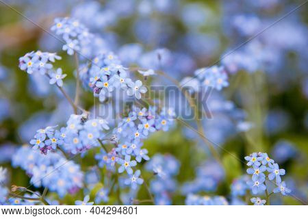 A Bunch Of Forget Me Nots. Blue Flowers In The Summer Meadow