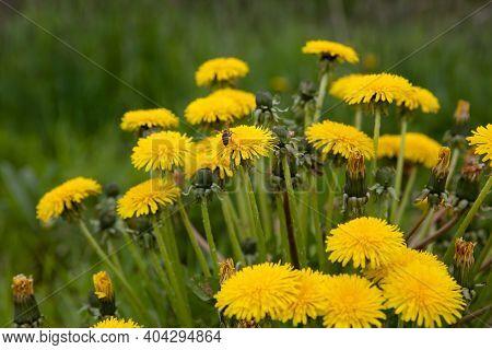 Yellow Dandelion Flowers. Blooming Dandelion In A Spring Meadow. Wildflowers In Summer. Wildflowers
