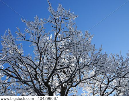 Tops And Crowns Of Trees Covered With Snow Against The Blue Sky, Frozen Trees In The Forest Sky Back