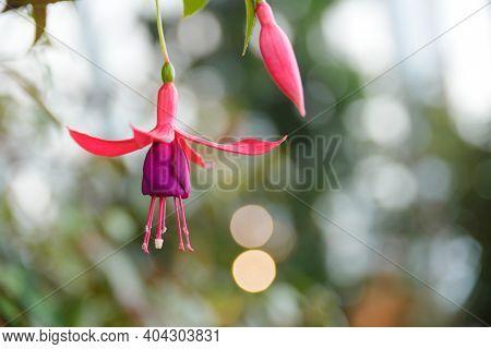 Beautiful Fuchsia Magellanica Or Hardy Fuchsia Flowers, Hanging Fuchsia Flowers In Shades Of Pink Wi