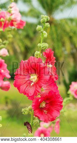 Red Hollyhocks Flower Plant In A Garden.