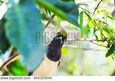 Plush-crested Jay or Cyanocorax chrysops bird in the forest of Iguazu Falls National Park,  Argentina