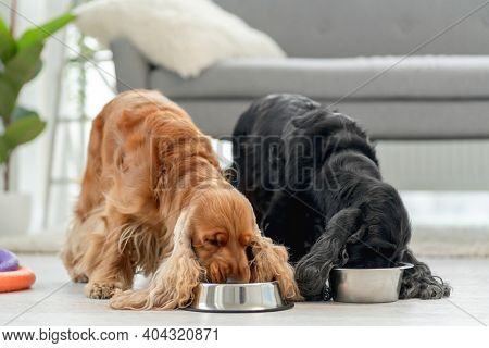 English cocker spaniel dogs at home
