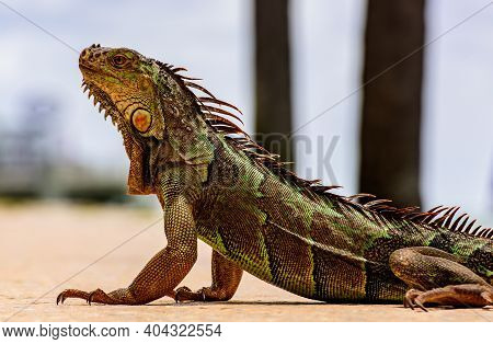 Green Iguana, Also Known As Common Or American Iguana, On Nature Background. Close-up Of The Head Of