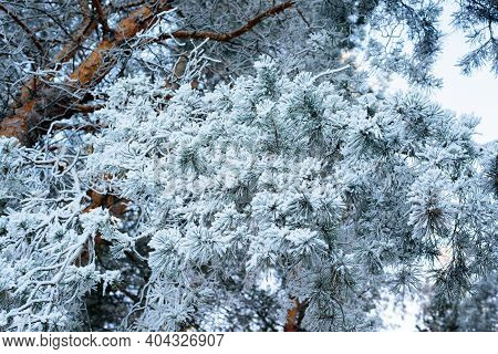 Winter Panorama, Pine Branches In Frost And Snow, Blue Sky . Frosty Morning