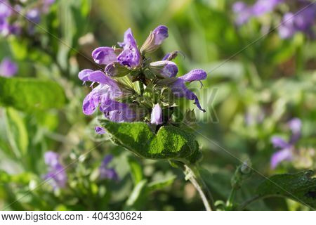 Close Up Beautiful Blue Salvia Flower Blooming In The Outdoor Garden With Blurred Background. Purple
