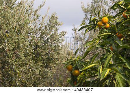 Tangerines In The Garden