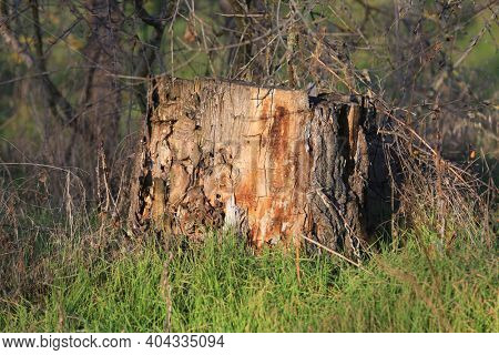 old dry wooden stub in forest