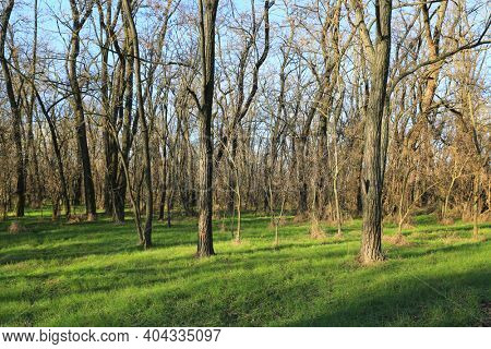 wild leafless forest with green grass at sunny day